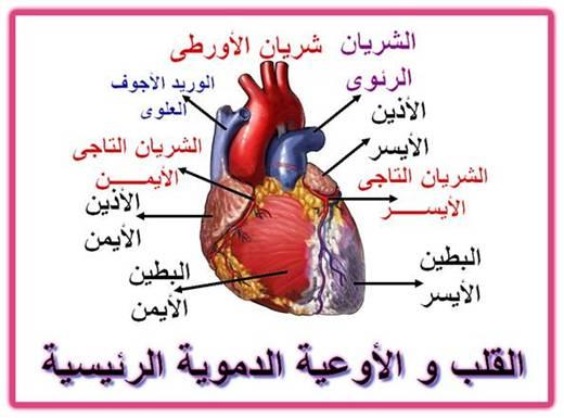 صورة القلب و الاوعية الدموية وتركيبة الاورده والشرايين