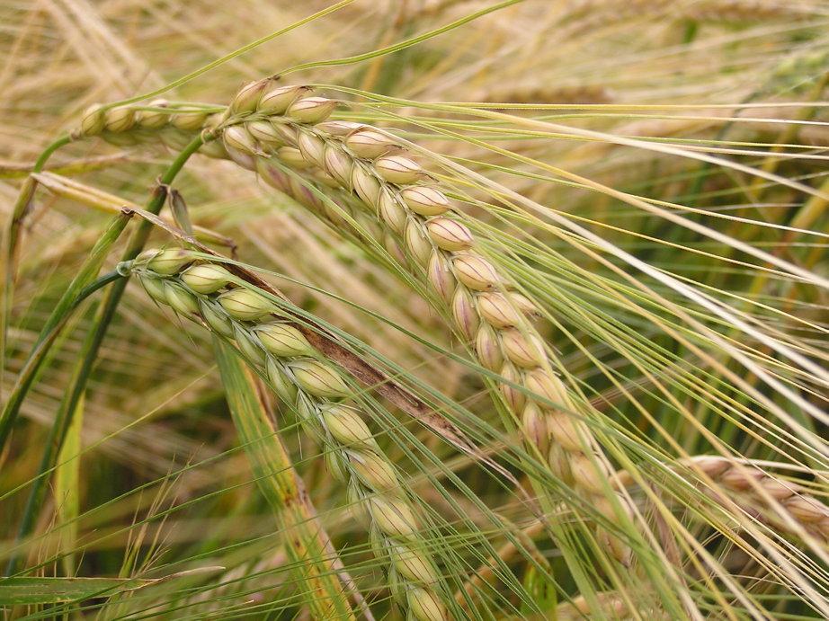 تعرف على فوائد الشعير الغذائية barley1.jpg