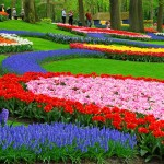 جولة فى حدائق كيوكينهوف وحقول توليب فى أمستردام