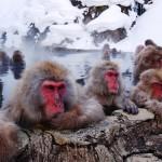 حديقة القرد جيجوكوداني فى اليابان