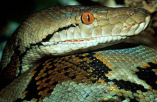 أطول الثعابين والزواحف في العالم