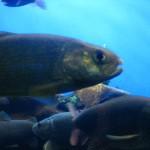 سمك بحيرة بايكال - 21032