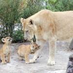 اللايجر مع صغارها