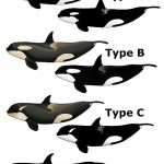 433px-Killer_Whale_Types - 31652