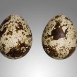 بيض طائر السمان