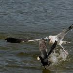 نورس مهاجمة الطير المائي
