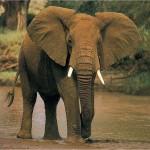 الفيل الأفريقي - 29320