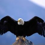 أقوى الطيور - النسر  - 29154