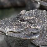 """صور ومعلومات عن القاطور """" التمساح الامريكي"""""""