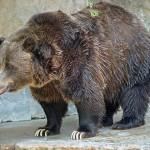 الدببة  - 29158