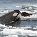 Killer_Whale_Tipe_B - 31662