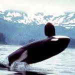 Orca_2 - 31664