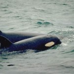 Orca_mother_calf - 31666