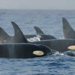 Orca_pod_southern_residents - 31667