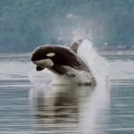 Orca_porpoising - 31668