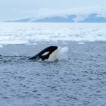 Orca_with_iceball_cropped - 31670