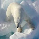 صور و معلومات عن الدب القطبي