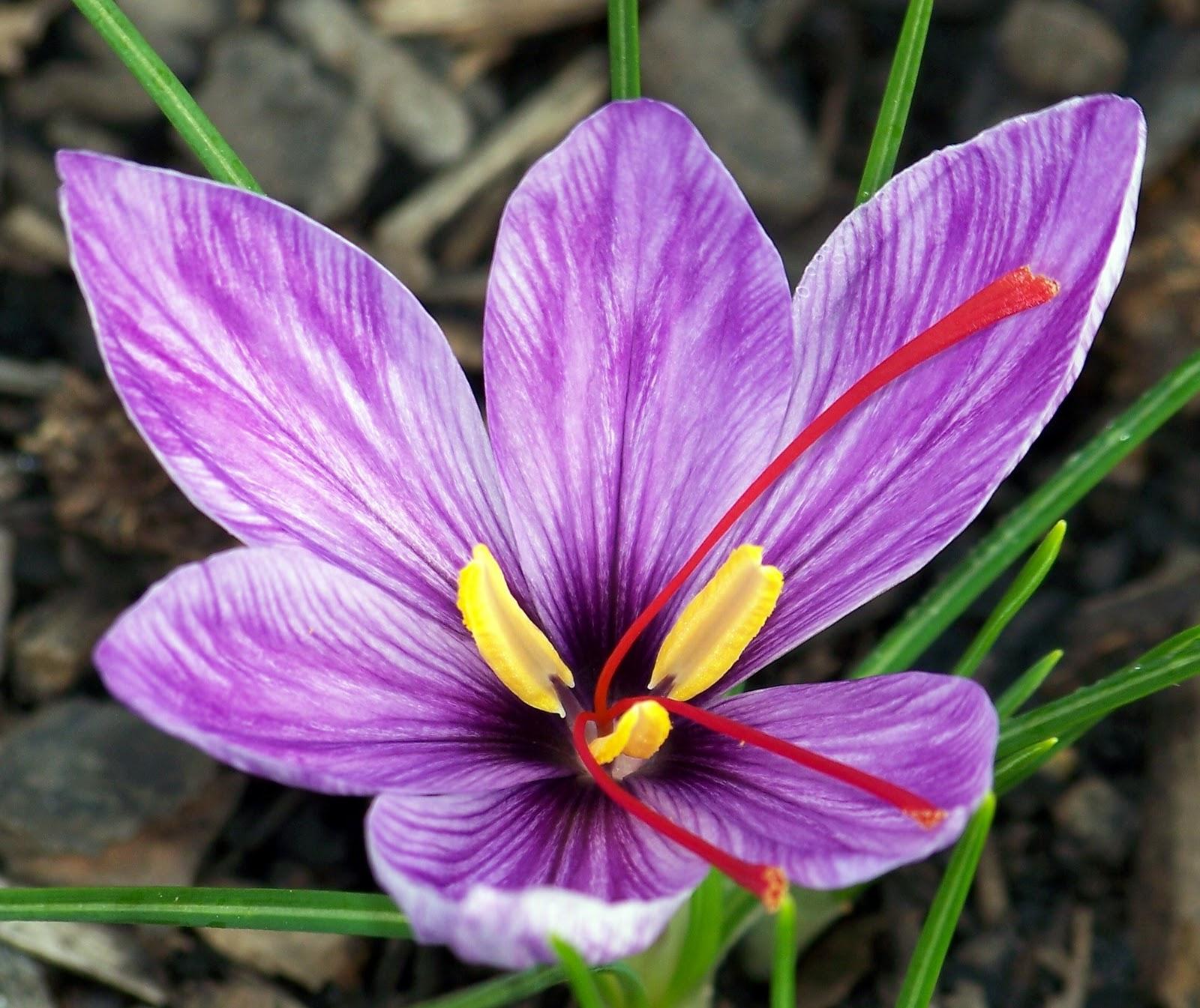 Георгины - выращивание из семян Образцовая Усадьба 92