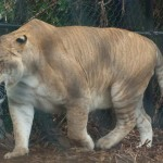 الاسد الببري أكبر من النمور السيبيرية