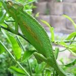 حرباء خضراء - 38726