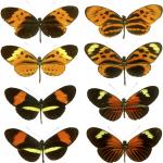 الفراشات من المناطق الاستوائية