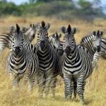 الحمر الوحشية في بوتسوانا