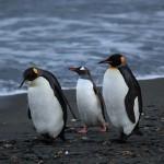 البطريق على شواطى جورجيا الجنوبيه - 40008