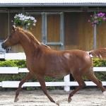 صور ومعلومات عن الحصان العربي