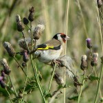 European Goldfinch - 37187