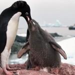 البطريق وتغذية الصغار - 40010