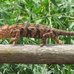 نوع من حرباء تعيش فى مدغشقر - 38729