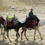 الإبل المستأنسة في أهرامات الجيزة، مصر