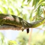 Chameleon - 38730