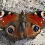 الفراشة الكبار