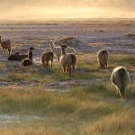 800px-Lamas_in_the_sunset_San_Pedro_de_Atacama_Chile_Luca_Galuzzi_2006 - 41740