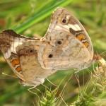 التزاوج الفراشات باكاي المشترك