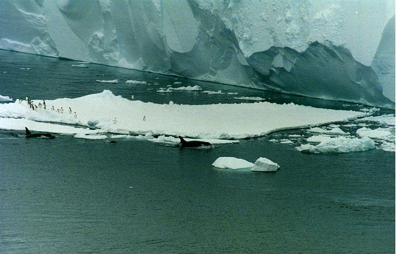 دلافين أوكرا تسبح مع البطاريق أديلي في بحر روس ، أنتاركتيكا