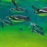 البطريق يسبح فى حوض من الماء - 40015