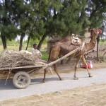تستخدم الإبل كحيوانات للجر في باكستان