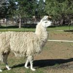 Domestic_llama_(2009-05-19) - 41741