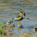 صور ومعلومات عن طائر الحسون الاوروبي
