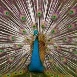 صور ومعلومات عن الطاووس