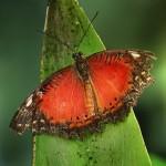 أجنحة الفراشة