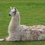 Llama_lying_down - 41746