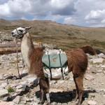 Lloyd_the_Llama - 41747