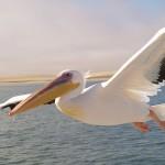 صور ومعلومات عن البجع