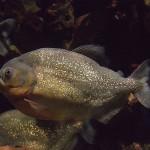 صور ومعلومات عن سمكة البيرانا