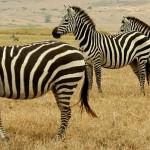 الحمر الوحشية في تنزانيا
