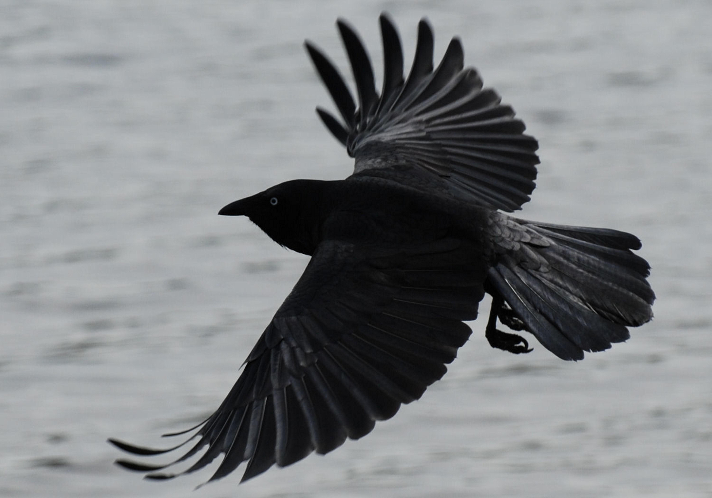 http://www.almrsal.com/wp-content/uploads/2013/08/crow1.jpg