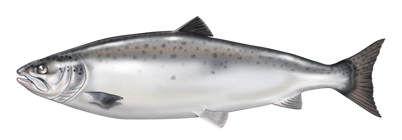 فوائد سمك السلمون المرسال